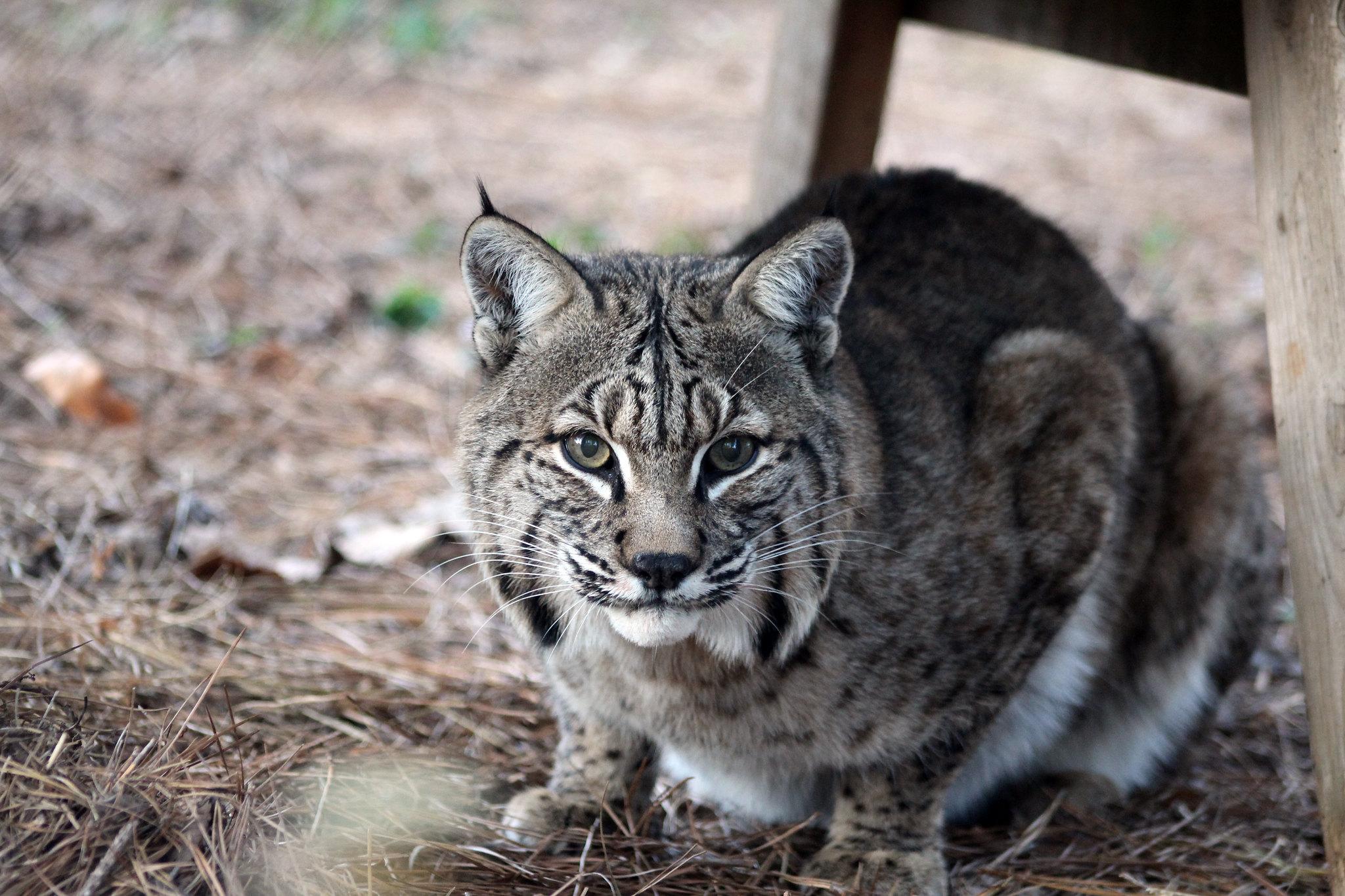 bobcat | carolina tiger rescue