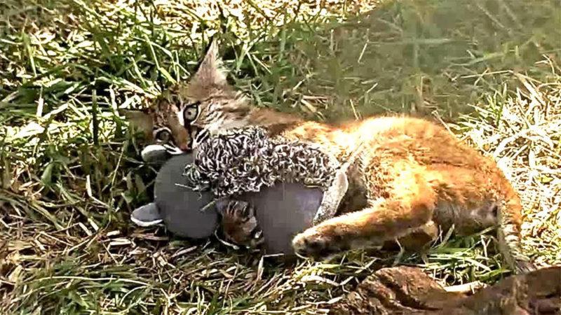 10 New Image Of Bobcat FULL HD 1080p For PC Desktop 2021 free download bobcat vs squirrel youtube 800x450