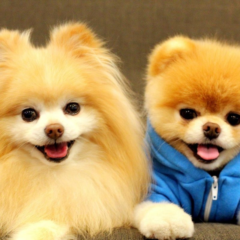 10 Latest Cute Baby Dogs Images FULL HD 1920×1080 For PC Desktop 2021 free download boo cute baby dog hd 2015 15 minutes of boo youtube 1 800x800