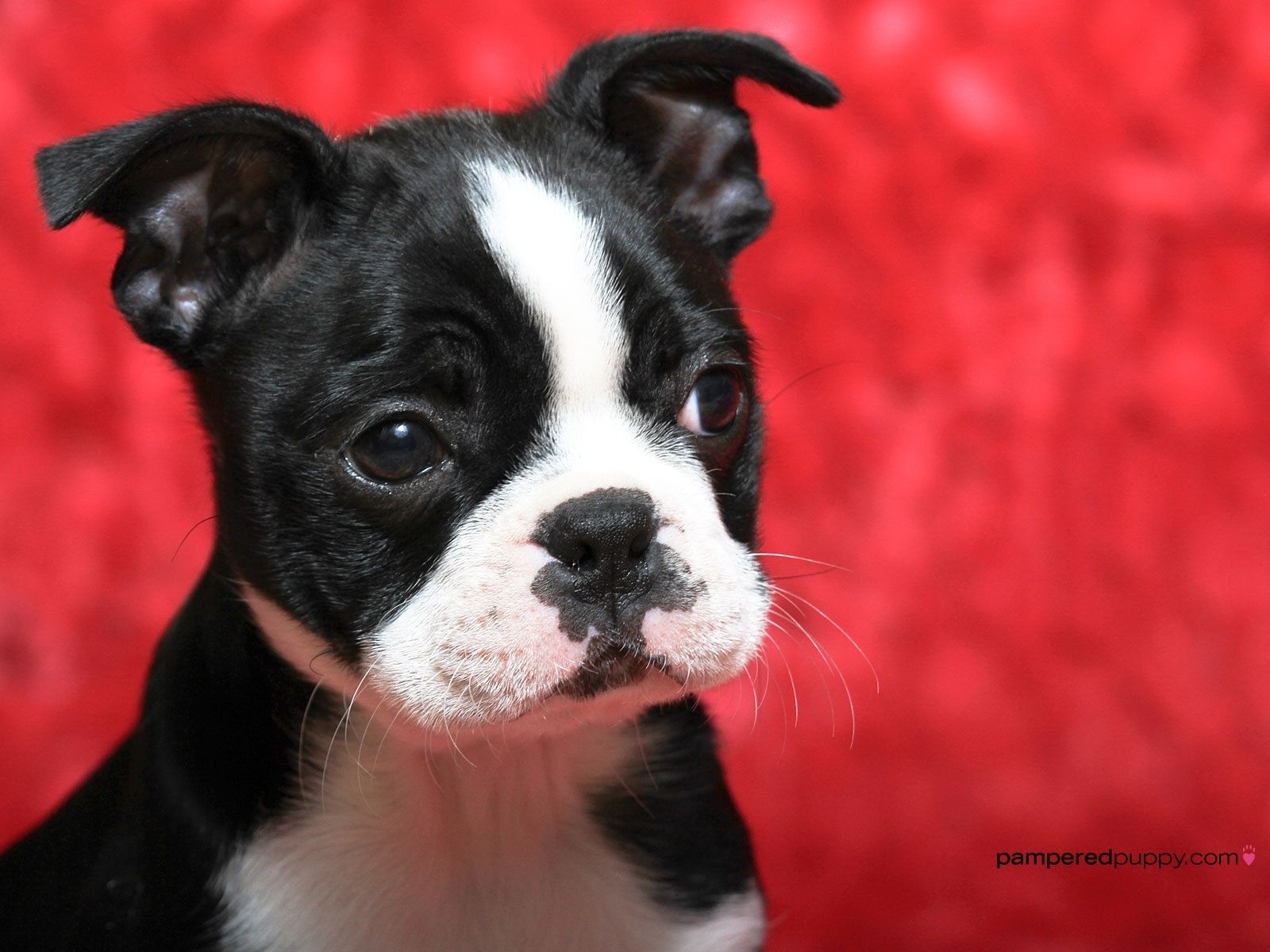 boston terrier dogs wallpapers - wallpaper cave