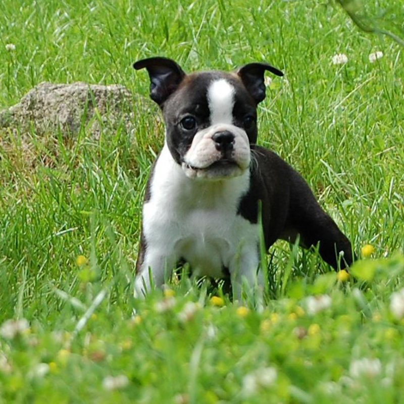 10 Latest Boston Terrier Wall Paper FULL HD 1920×1080 For PC Desktop 2018 free download boston terrier on the meadow photo and wallpaper beautiful boston 800x800