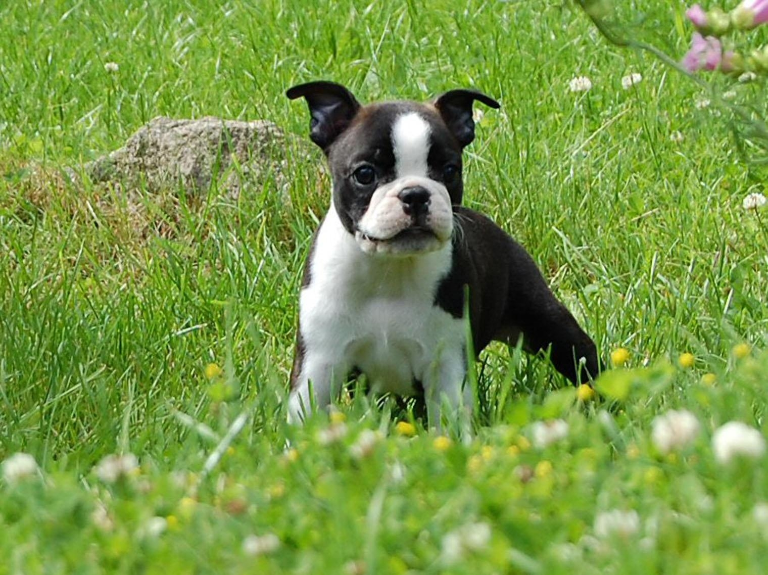 boston terrier on the meadow photo and wallpaper. beautiful boston