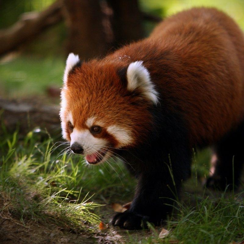 10 Latest Red Panda Wallpaper 1920X1080 FULL HD 1920×1080 For PC Desktop 2021 free download brilliant red panda e29da4 4k hd desktop wallpaper for 4k ultra hd tv 800x800