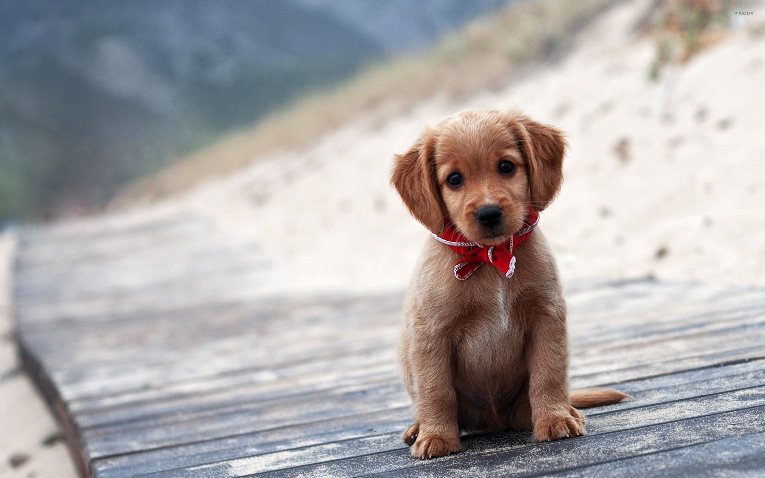 brown puppy wallpaper - animal wallpapers - #32833