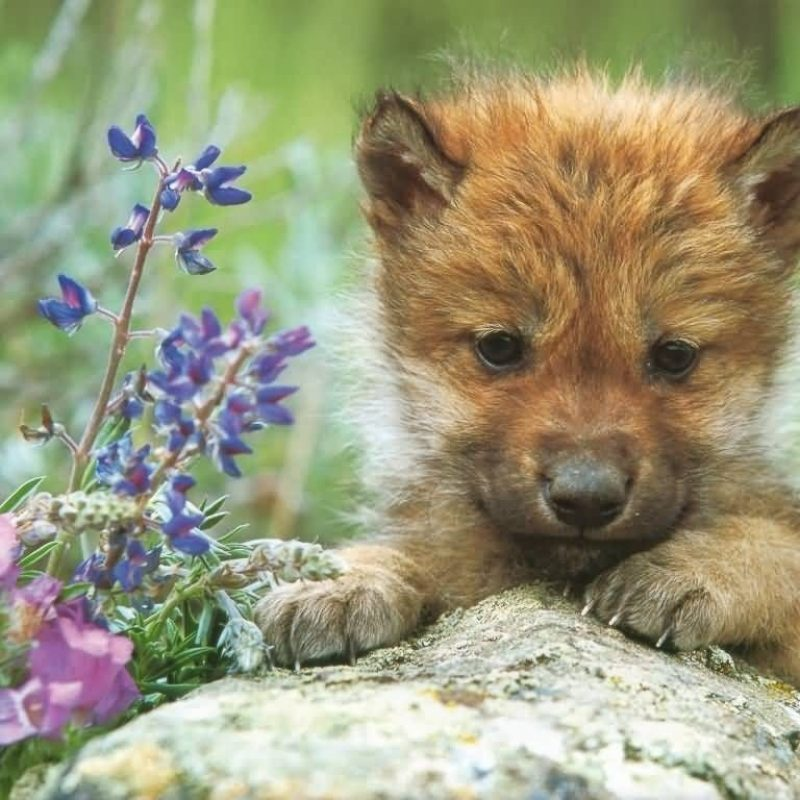 10 New Pictures Of Baby Wolfs FULL HD 1920×1080 For PC Background 2021 free download caitbob wilkinson baby wolves 12 weeks and toot 1 800x800