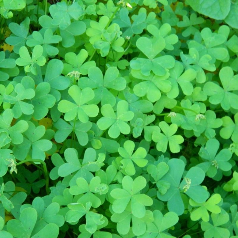 10 Most Popular 4 Leaf Clover Wallpaper FULL HD 1080p For PC Background 2018 free download can you find a four leaf clovernarutofreakazoidt on deviantart 800x800