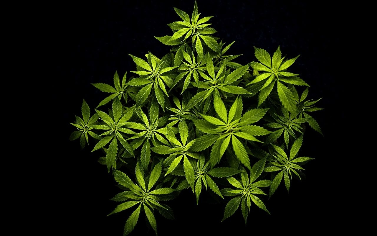 cannabis plant wallpapers | cannabis and weed posters