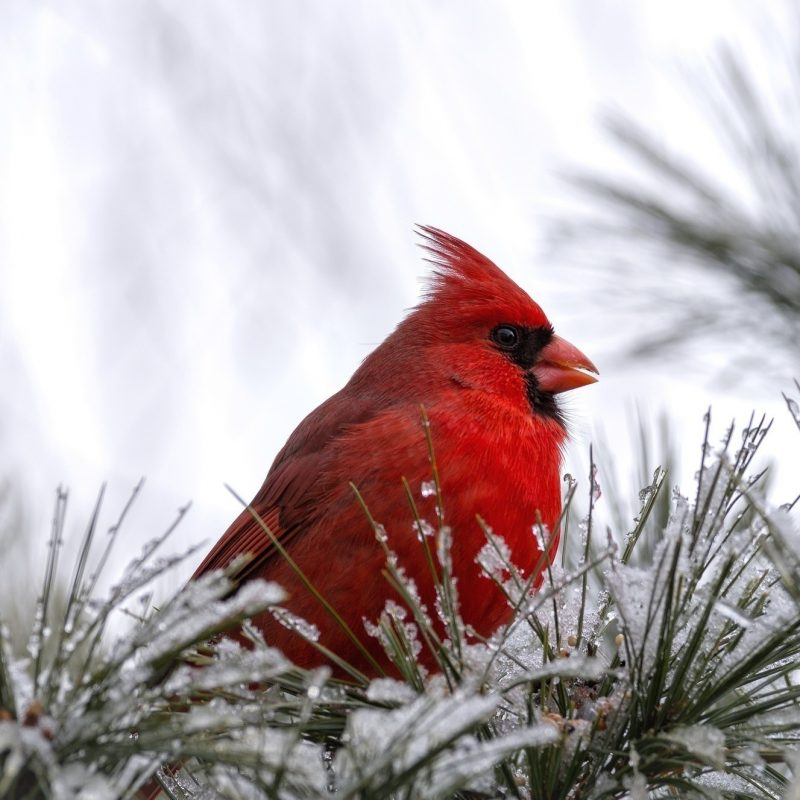 10 New Cardinal In Snow Pictures FULL HD 1080p For PC Desktop 2021 free download cardinal birds in snow wallpaper 47 images 800x800