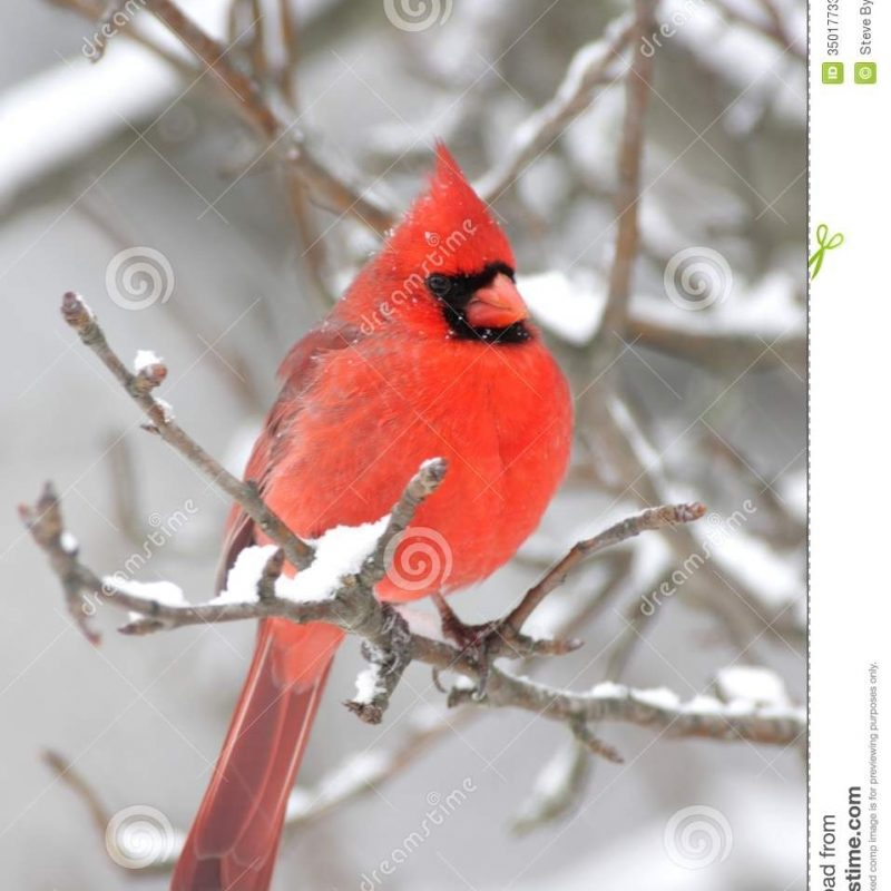 10 New Cardinal In Snow Pictures FULL HD 1080p For PC Desktop 2021 free download cardinal in snow stock image image of northern branch 35017733 800x800