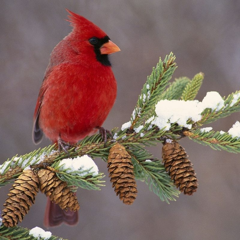 10 New Cardinal In Snow Pictures FULL HD 1080p For PC Desktop 2021 free download cardinal in snow wallpaper fly flutter hop swim pinterest 800x800