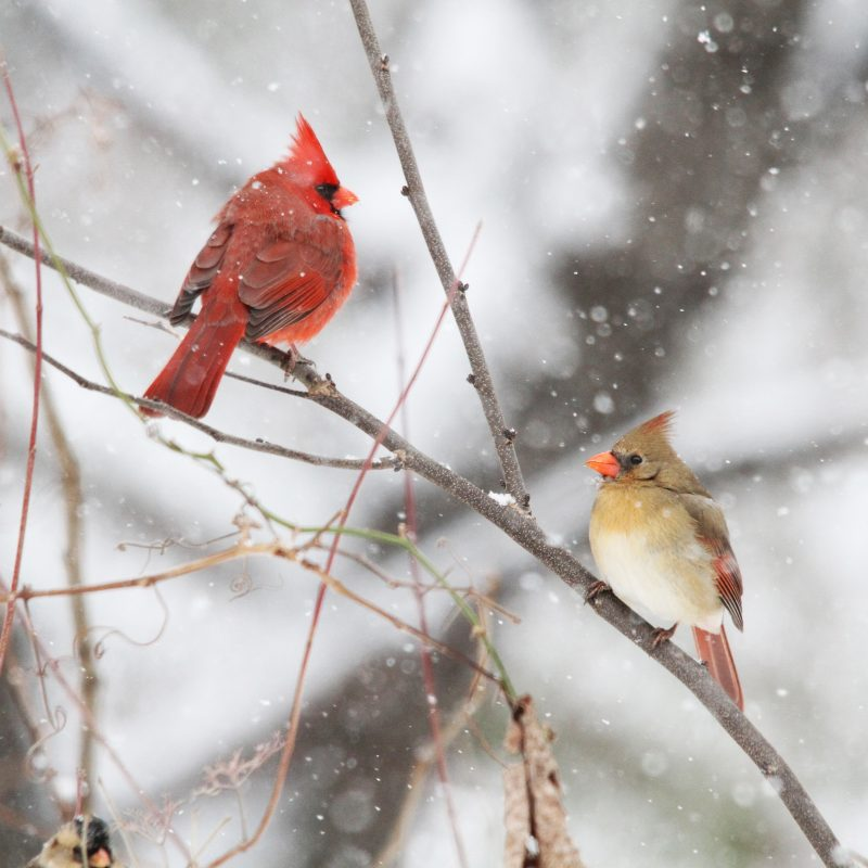 10 New Cardinal In Snow Pictures FULL HD 1080p For PC Desktop 2021 free download cardinals in the snow birds and blooms 800x800