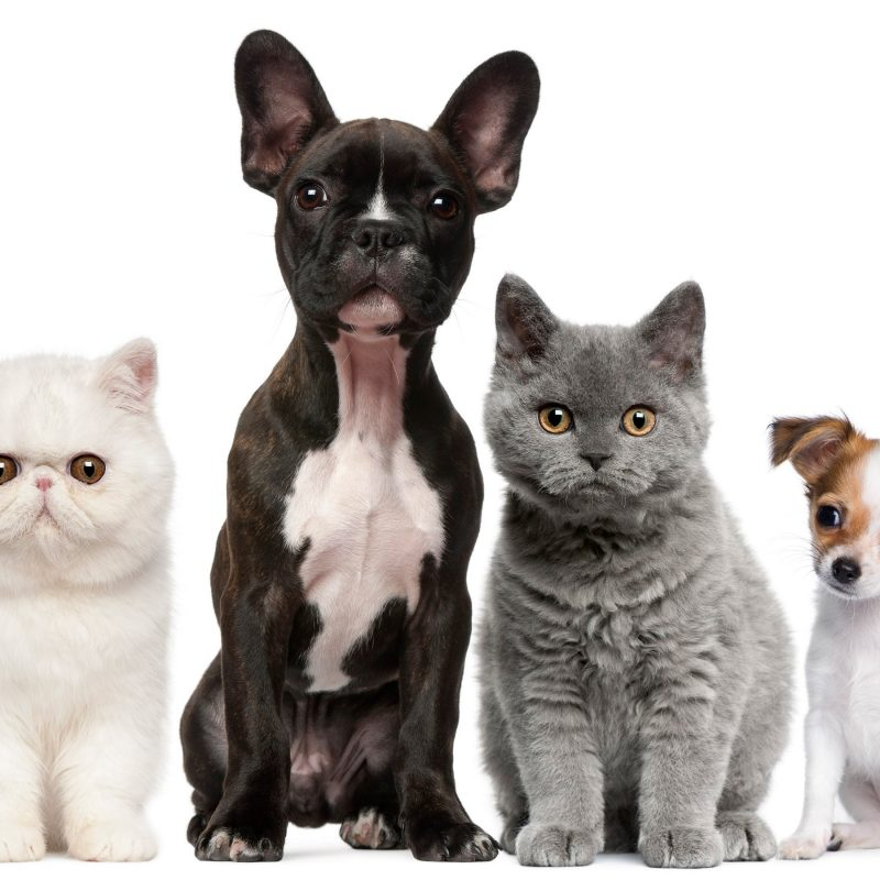 10 Latest Dog And Cat Background FULL HD 1080p For PC Background 2018 free download cats and dogs wallpapers group 82 800x800