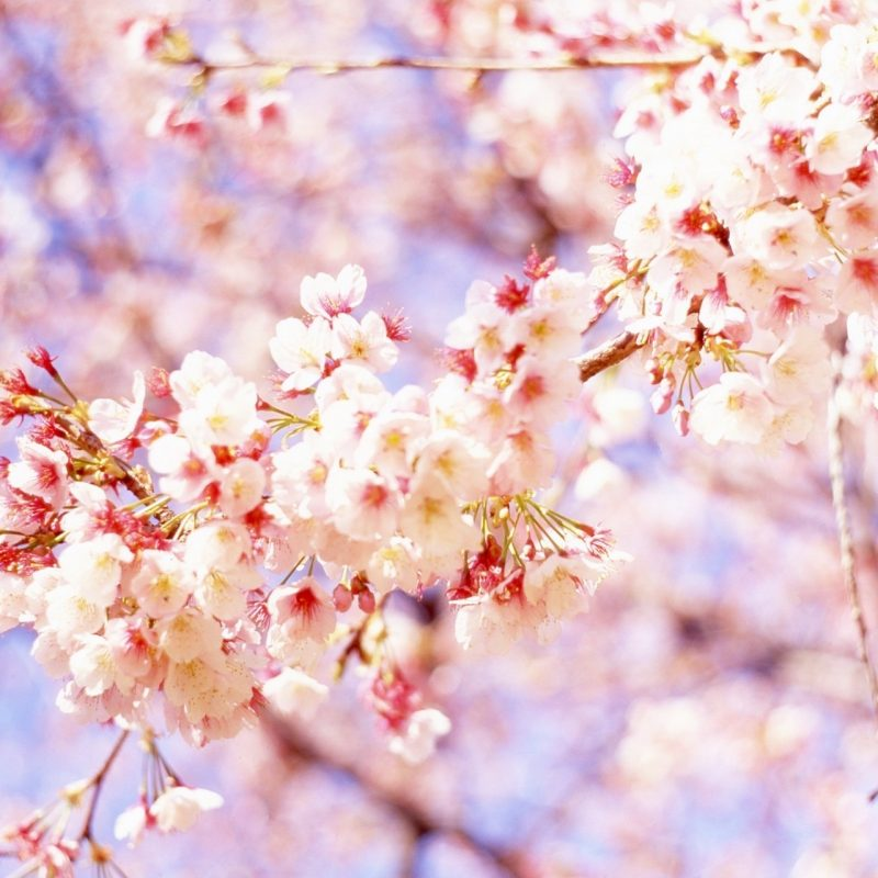 10 New Cherry Blossom Background Hd FULL HD 1920×1080 For PC Desktop 2018 free download cherry blossom background hd 6 background check all 800x800
