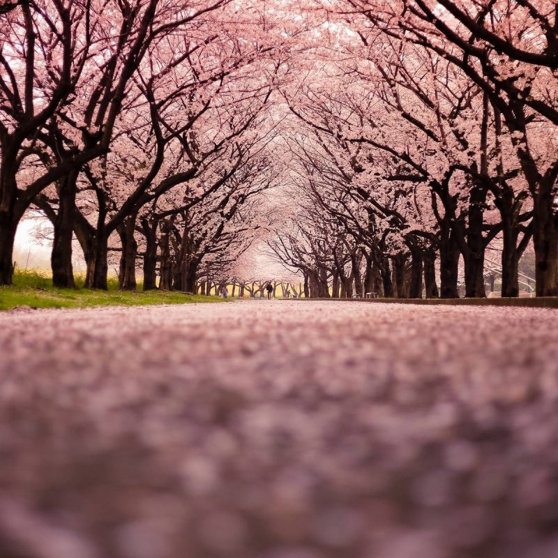 10 New Cherry Blossom Background Hd FULL HD 1920×1080 For PC Desktop 2020 free download cherry blossom background hd backgrounds pic 800x800