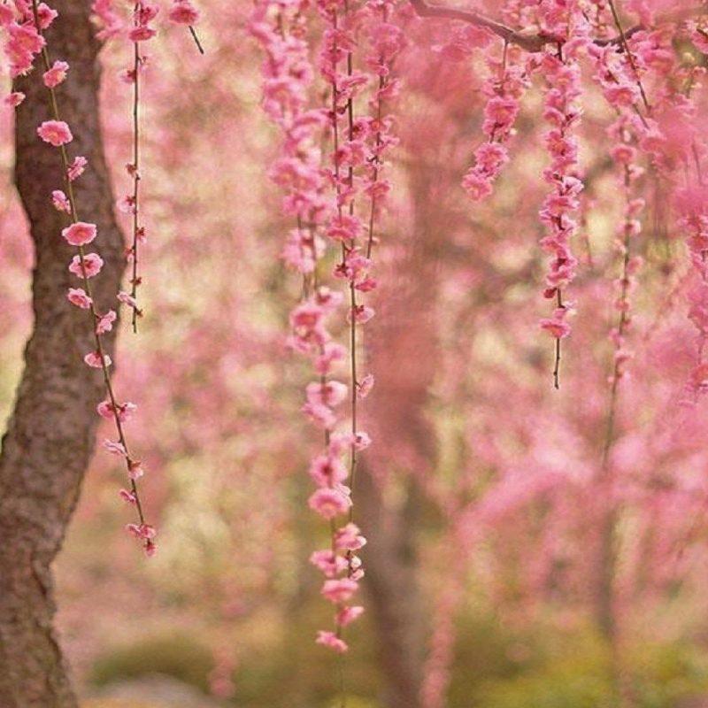 10 Best Cherry Blossom Wallpaper Desktop FULL HD 1080p For PC Desktop 2018 free download cherry blossom computer backgrounds wallpaper ololoshenka 800x800