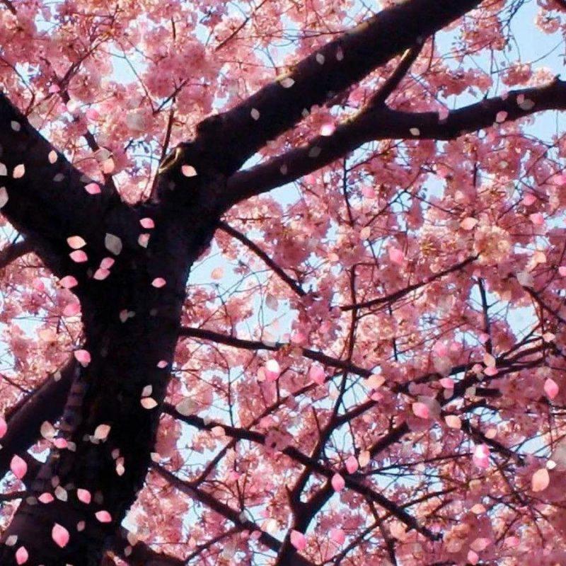 10 Best Cherry Blossom Wallpaper Desktop FULL HD 1080p For PC Desktop 2018 free download cherry blossom desktop backgrounds wallpaper cave 2 800x800