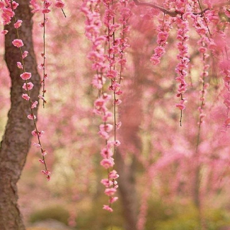 10 Top Cherry Blossom Desktop Wallpaper FULL HD 1080p For PC Desktop 2020 free download cherry blossom desktop wallpaper 800x800