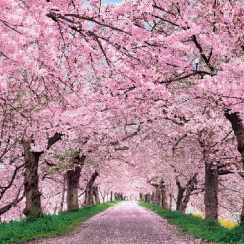 10 Top Cherry Blossoms Desktop Wallpaper FULL HD 1080p For PC Desktop 2018 free download cherry blossom desktop wallpaper c2b7e291a0 3 800x800