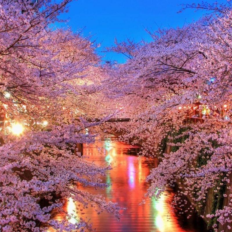 10 Top Cherry Blossoms Desktop Wallpaper FULL HD 1080p For PC Desktop 2018 free download cherry blossom desktop wallpapers wallpaper cave 1 800x800