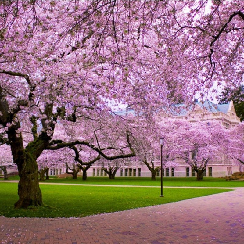 10 New Cherry Blossom Background Hd FULL HD 1920×1080 For PC Desktop 2018 free download cherry blossom desktop wallpapers wallpaper cave 5 800x800