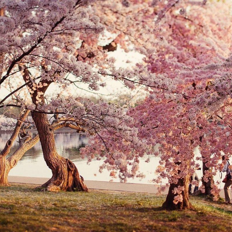 10 Best Cherry Blossom Wallpaper Desktop FULL HD 1080p For PC Desktop 2018 free download cherry blossom desktop wallpapers wallpaper computer wallpaper 1 800x800