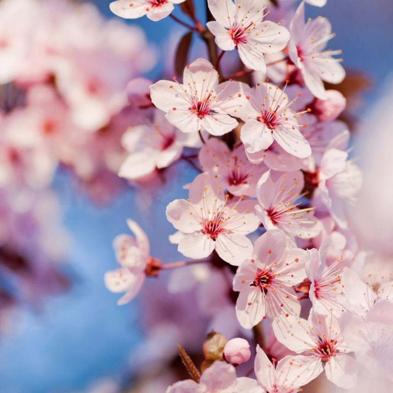 10 Top Cherry Blossom Desktop Wallpaper FULL HD 1080p For PC Desktop 2020 free download cherry blossom e29da4 4k hd desktop wallpaper for e280a2 dual monitor 2 800x800