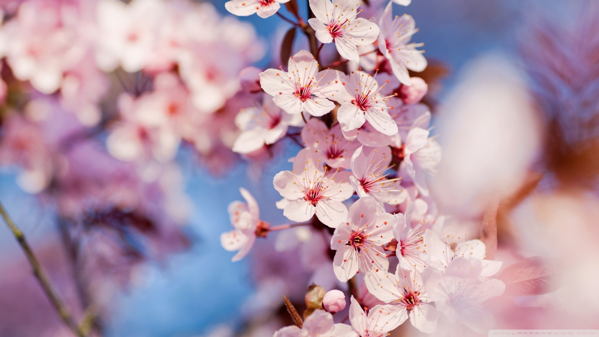 cherry blossom ❤ 4k hd desktop wallpaper for • dual monitor