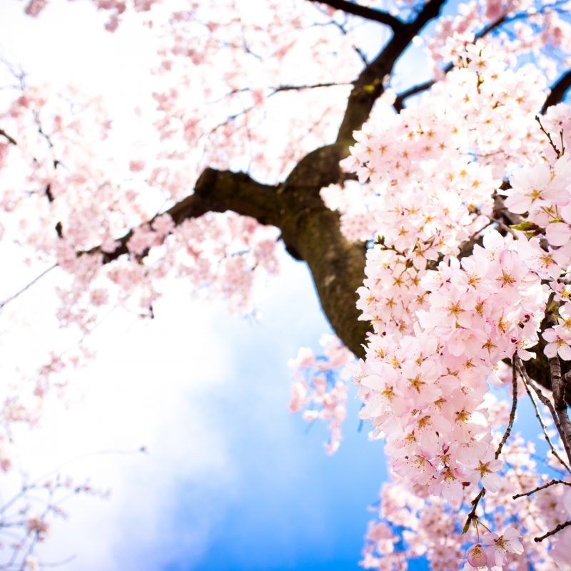 10 New Cherry Blossom Background Hd FULL HD 1920×1080 For PC Desktop 2020 free download cherry blossom images beautiful cherry blossom e299a1 hd wallpaper and 800x800