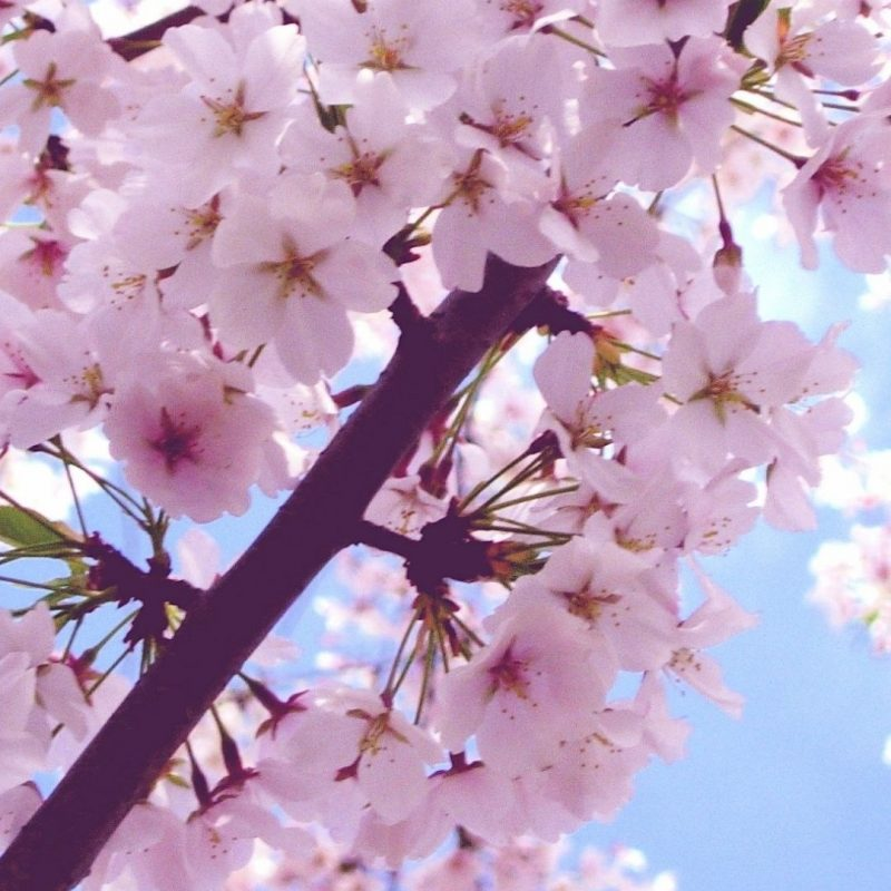 10 Latest Cherry Blossom Wallpaper Iphone FULL HD 1920×1080 For PC Desktop 2020 free download cherry blossom iphone 6 plus wallpaper 6556 flowers iphone 6 plus 1 800x800