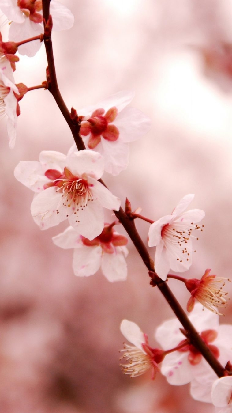 cherry blossom iphone hd wallpaper - wallpaper.wiki