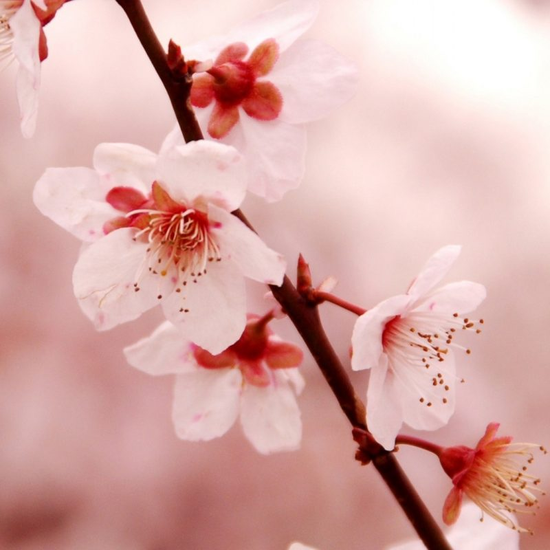 10 Latest Cherry Blossom Wallpaper Iphone FULL HD 1920×1080 For PC Desktop 2018 free download cherry blossom iphone wallpaper download free media file 800x800