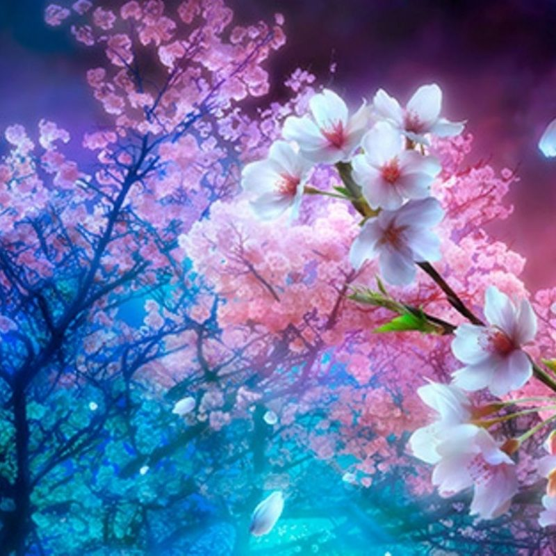 10 New Cherry Blossom Wallpaper Night FULL HD 1080p For PC Background 2020 free download cherry blossom night wallpaper picture for desktop 1436x793 px 800x800