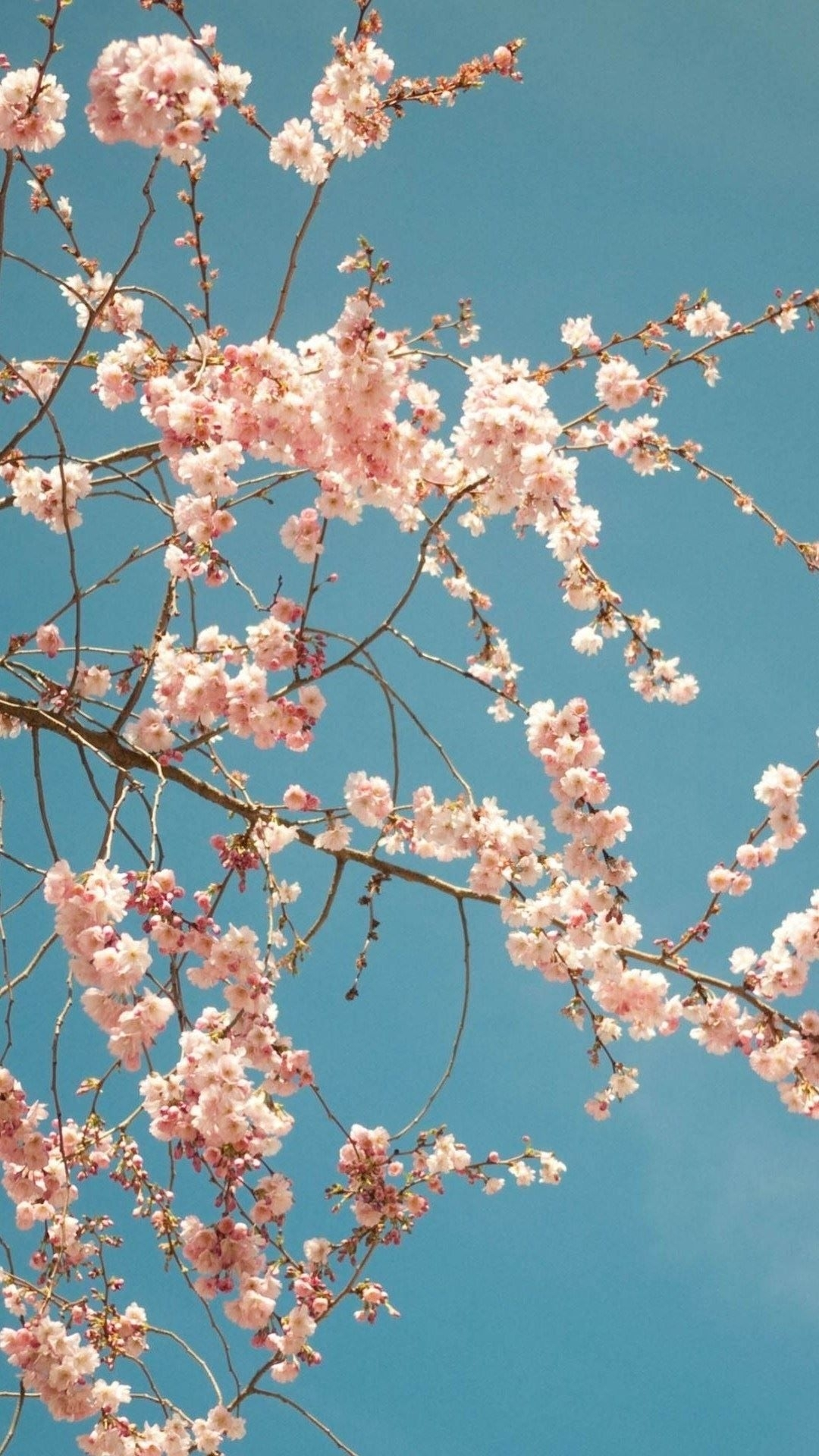 cherry blossom tree - high quality htc one wallpapers and abstract
