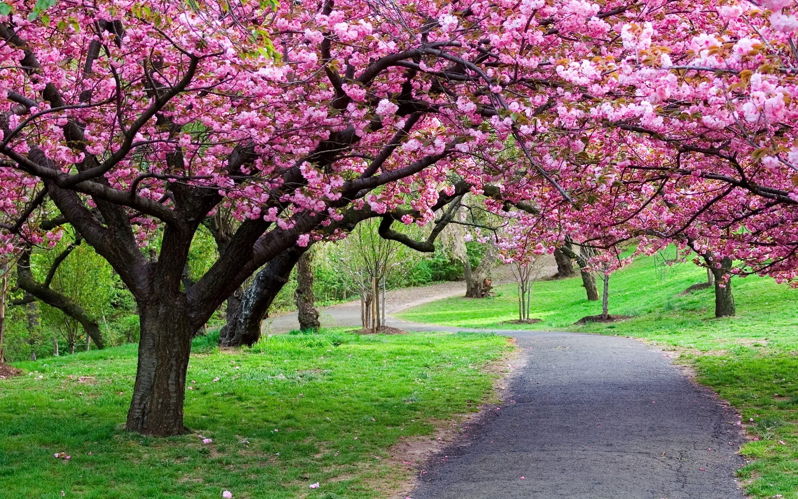 cherry blossom tree wallpaper p - download hd cherry blossom tree p