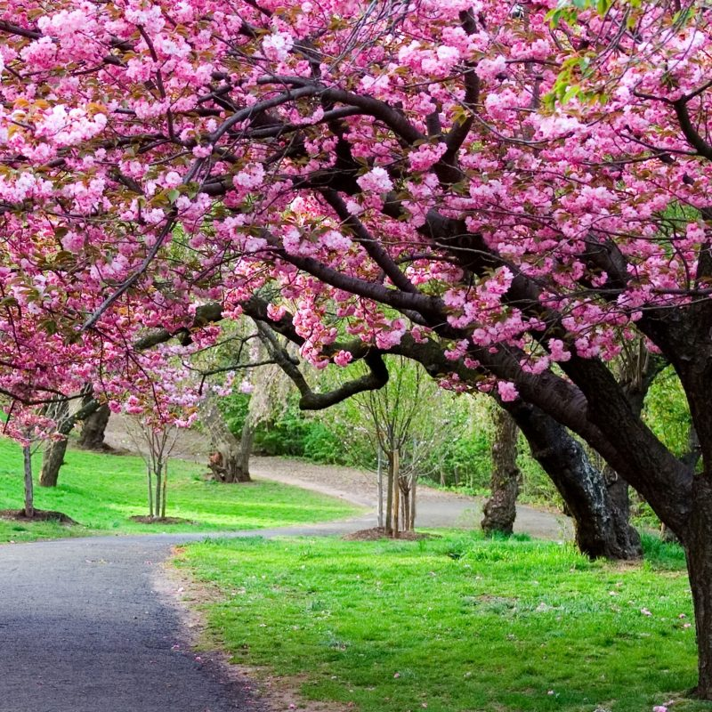 10 Top Cherry Blossoms Desktop Wallpaper FULL HD 1080p For PC Desktop 2020 free download cherry blossom tree wallpapers 63 wallpapers hd wallpapers pre 800x800