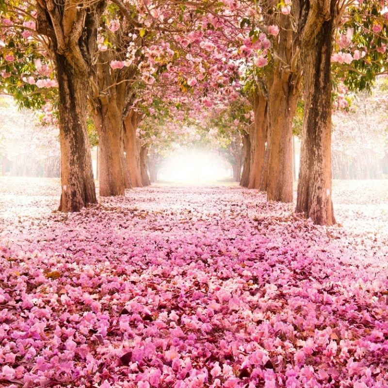 10 New Cherry Blossom Background Hd FULL HD 1920×1080 For PC Desktop 2018 free download cherry blossom wallpaper 24 800x800