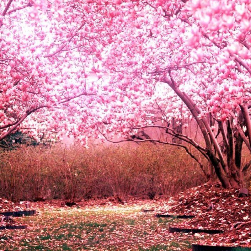 10 New Hd Wallpapers Cherry Blossom FULL HD 1080p For PC Desktop 2021 free download cherry blossom wallpaper hd pixelstalk 1 800x800