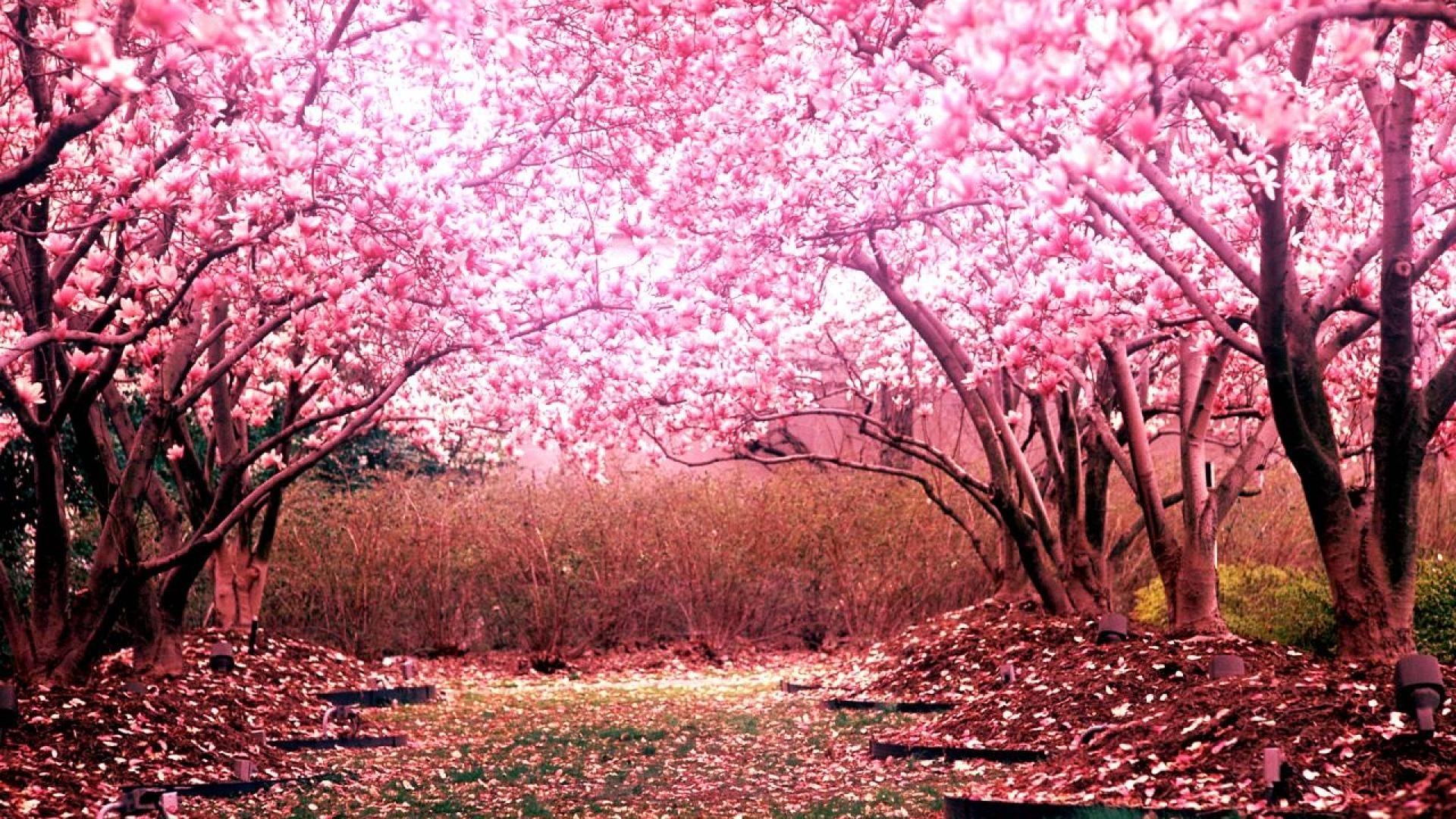 cherry blossom wallpaper hd   pixelstalk