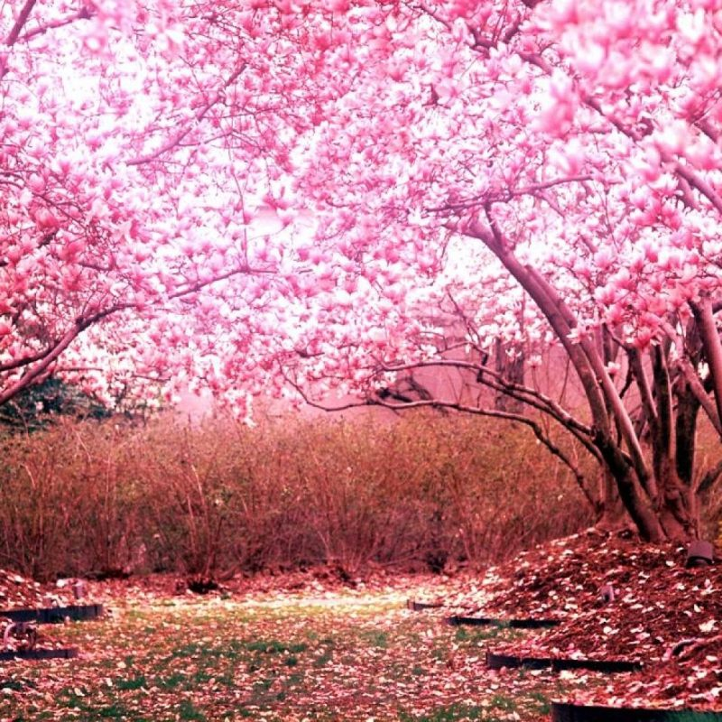 10 New Cherry Blossom Hd Wallpaper FULL HD 1080p For PC Desktop 2018 free download cherry blossom wallpaper hd pixelstalk 4 800x800