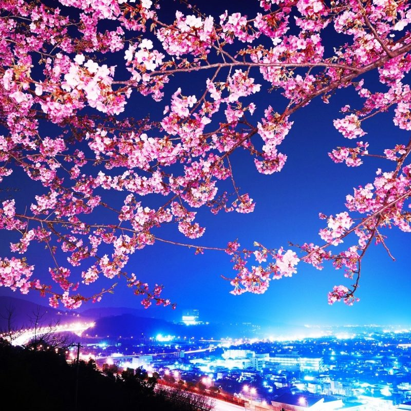 10 New Cherry Blossom Wallpaper Night FULL HD 1080p For PC Background 2020 free download cherry blossom wallpaper night wallpaper wide download hd cherry 800x800