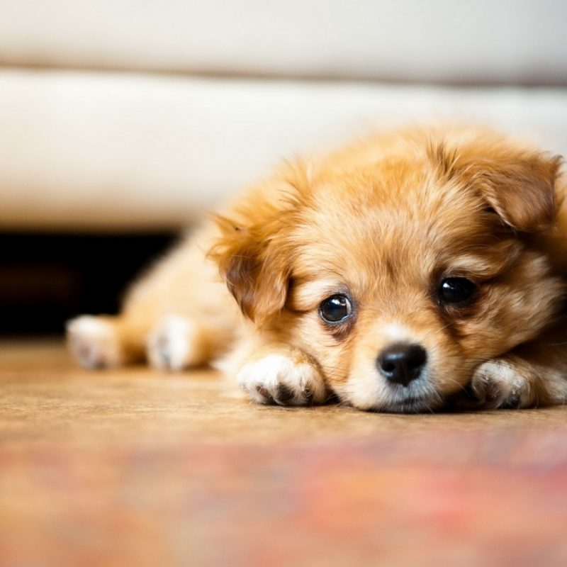 10 Most Popular Cute Puppy Wallpaper Hd FULL HD 1920×1080 For PC Desktop 2018 free download chiot mignon fond decran hd 800x800