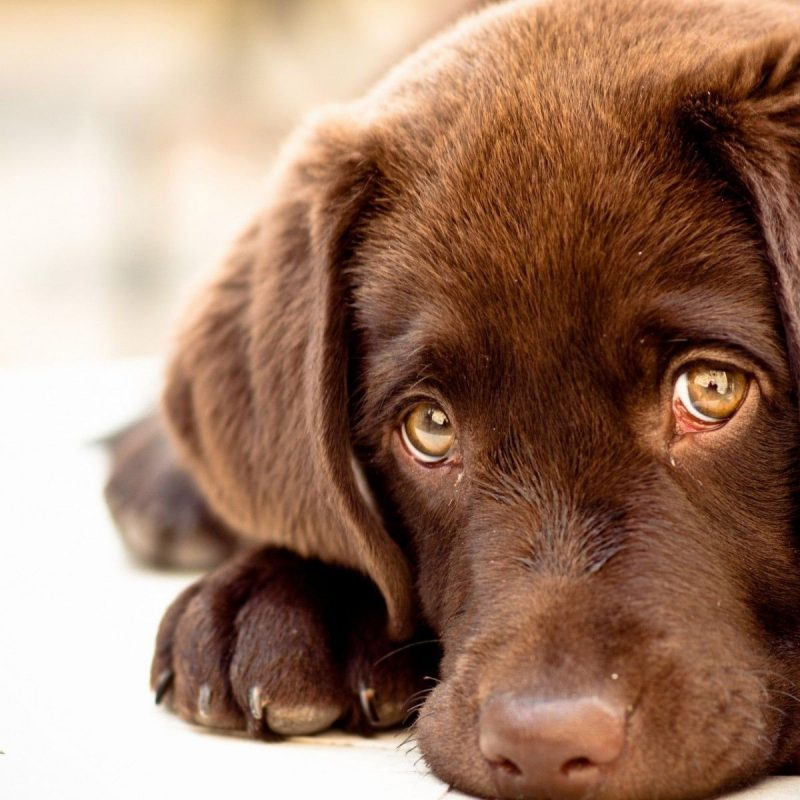 10 New Chocolate Lab Wallpapers FULL HD 1080p For PC Desktop 2020 free download chocolate lab wallpaper c2b7e291a0 800x800
