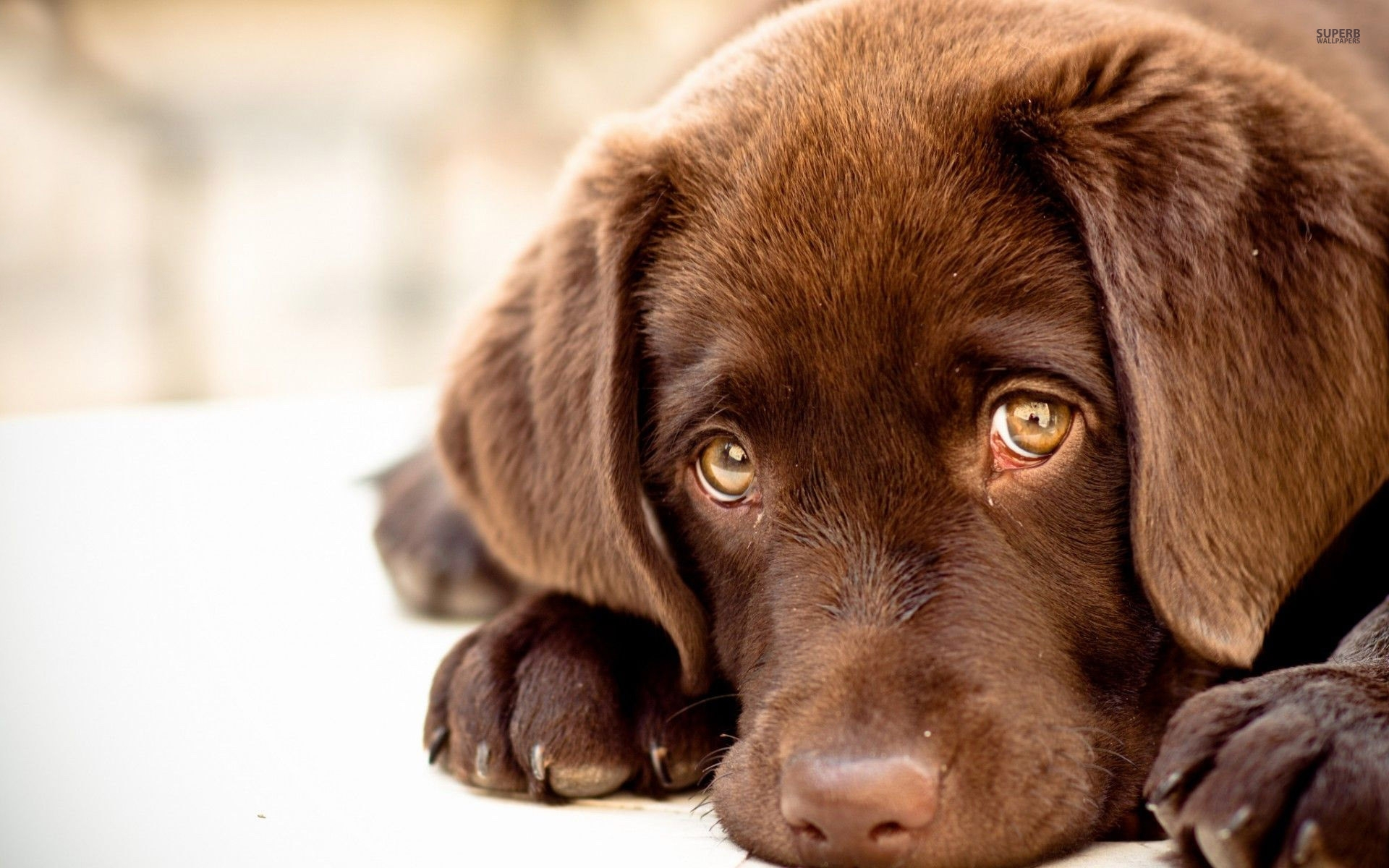 chocolate lab wallpaper ·①