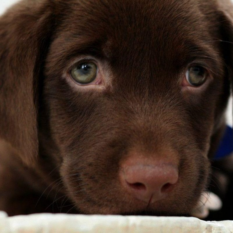 10 New Chocolate Lab Wallpapers FULL HD 1080p For PC Desktop 2020 free download chocolate lab wallpapers wallpaper cave 2 800x800