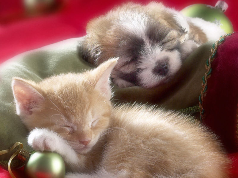 10 Most Popular Puppy And Kitten Wallpapers FULL HD 1920×1080 For PC Background 2021 free download christmas puppy and kitten sleeping wallpaper and hintergrund 800x600