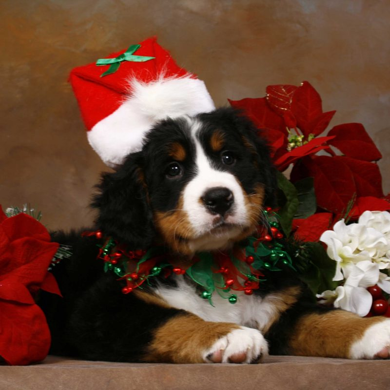 10 Top Cute Puppy Christmas Pictures FULL HD 1080p For PC Desktop 2020 free download christmas puppy images wallpaper 800x800
