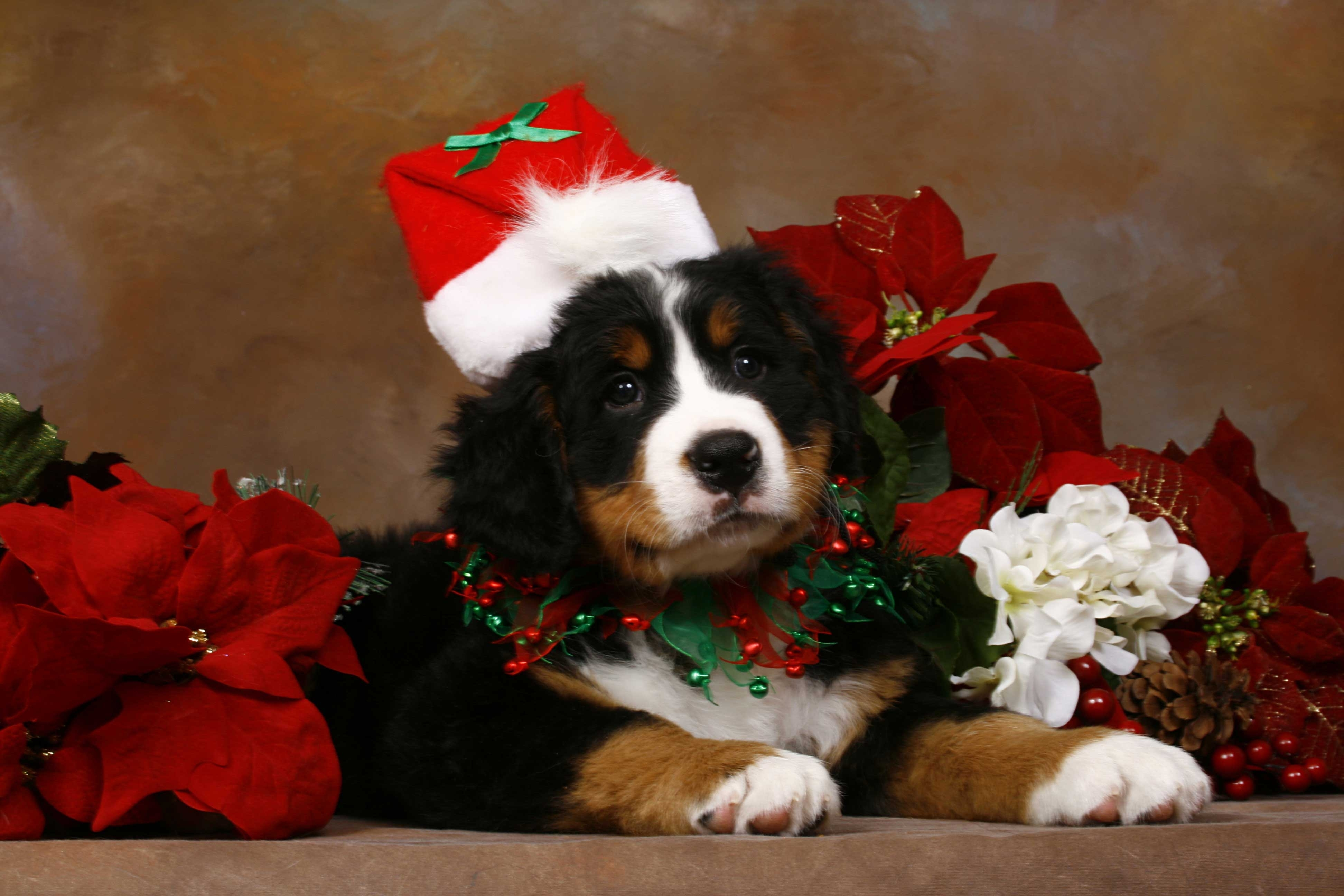 christmas puppy images wallpaper