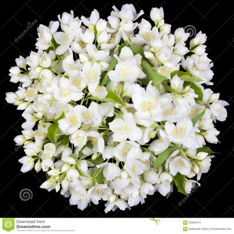 10 Latest Images Of Jasmine Flowers FULL HD 1080p For PC Background 2021 free download circle from white jasmine flowers stock photo image of bright 800x800