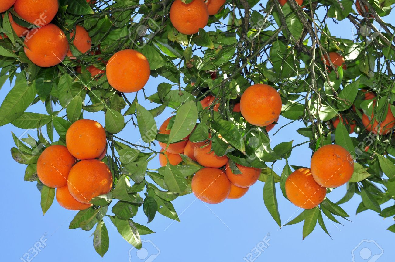 closeup of an orange tree full of fruits stock photo, picture and