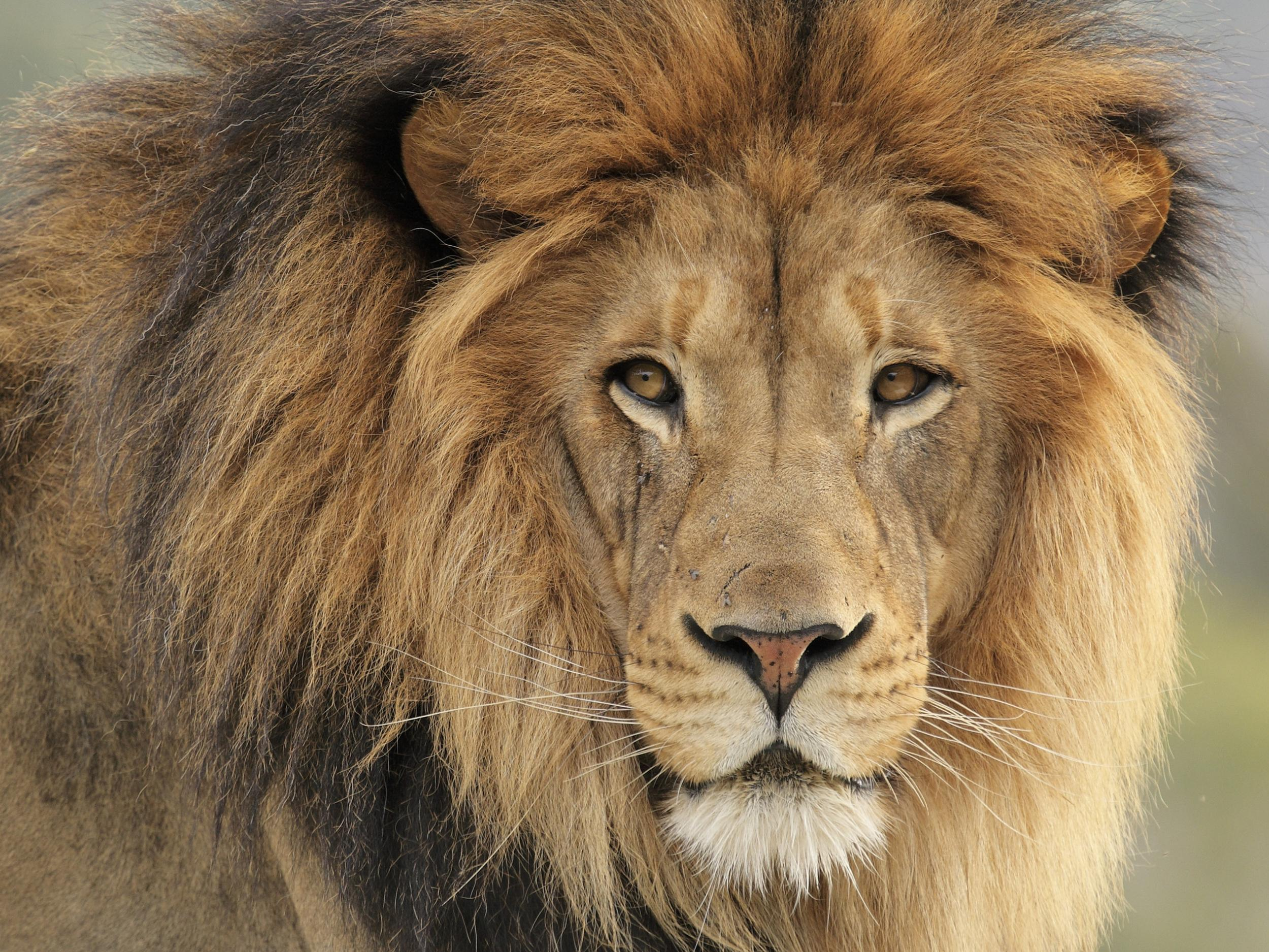 conservatives break pledge to ban lion hunt trophies from being